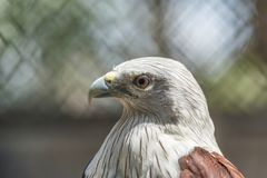 Red backed sea eagle royalty free stock photography
