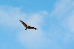 Red-backed sea-eagle Royalty Free Stock Image