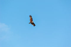 Red-backed sea-eagle Royalty Free Stock Photo