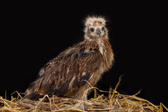 Red-backed Sea-eagle in the nest Royalty Free Stock Photos