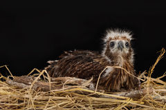 Red-backed Sea-eagle in the nest Stock Photo