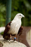 Red-Backed Sea Eagle. Portrait of red-backed Sea eagle (Brahminy Kite Stock Image