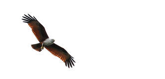 Red backed sea-eagle Stock Image
