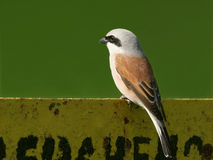 Red backed shrike Royalty Free Stock Photography