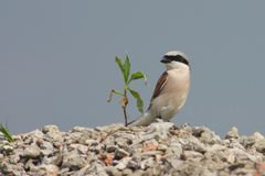 Red backed shrike. Sitting on stones Stock Photo