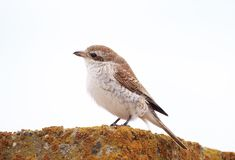 Red-backed Shrike Royalty Free Stock Photography