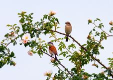 Red-backed Shrike Stock Photo
