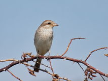 Red backed Shrike Stock Photography