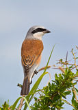 Red-backed Shrike Royalty Free Stock Image