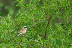 Red-Backed Shrike. On a branch Stock Images