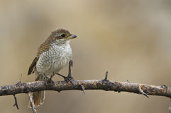 Red-backed Shrike (Lanius collurio) Royalty Free Stock Images