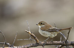 Red-backed Shrike (Lanius collurio). Red backed shrike on a branch Stock Photography