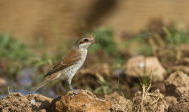 Red-backed Shrike (Lanius collurio) Stock Images