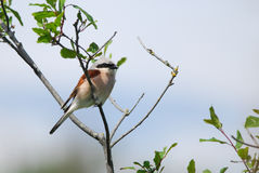 Red-Backed Shrike Royalty Free Stock Images