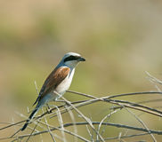 Red-backed Shrike Royalty Free Stock Photos