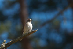 Red-Backed Shrike. And blue background Stock Photos