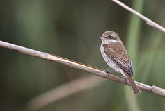 Red-backed Shrike with Back Detail Stock Photo