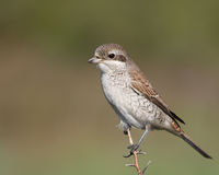 Red-backed Shrike on a branch Royalty Free Stock Photo