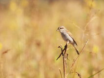 Red backed Shrike Stock Images
