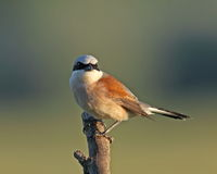 Red backed Shrike on a branch Royalty Free Stock Image