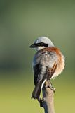 Red backed Shrike on a branch Stock Photo