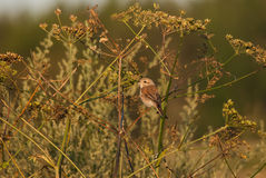 Red-Backed Shrike in the evening Royalty Free Stock Image