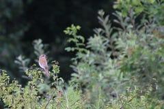 Red-Backed Shrike Stock Photo