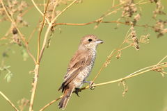 Red-backed shrike, female Stock Image