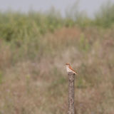 Red-backed shrike female on a wooden pole Royalty Free Stock Photography