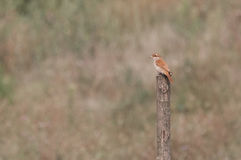 Red-backed shrike female on a wooden pole Stock Images