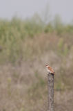 Red-backed shrike female on a wooden pole, vertical view Stock Photos
