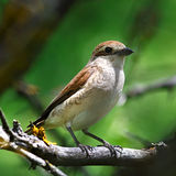 Red-backed shrike in the foliage of a tree. Stock Images