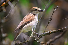 Red-backed shrike in the foliage of a tree. Royalty Free Stock Images