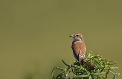 Red-backed Shrike with Green Background Royalty Free Stock Photo