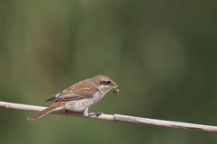 Red-backed Shrike with Her Prey Bee Royalty Free Stock Photo