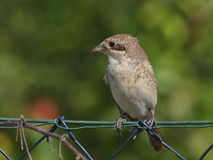 Red backed Shrike (immature) Royalty Free Stock Photography