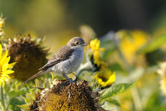 Red-backed shrike, lanius collurio Stock Image