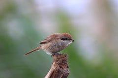 Red-backed Shrike, Lanius collurio Royalty Free Stock Photo