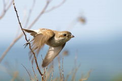 Red-backed Shrike, lanius collurio Stock Photo