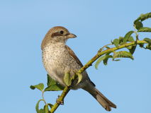 Red backed Shrike, Lanius collurio Royalty Free Stock Photo