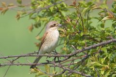 Red backed Shrike / Lanius collurio Stock Photography
