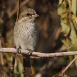 Red backed Shrike, lanius collurio Stock Photography
