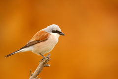 Red Backed Shrike-Lanius collurio Stock Photo