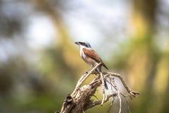 Red-backed shrike, Lanius collurio royalty free stock photos