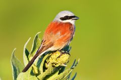 The Red-backed shrike Lanius collurio adult male Royalty Free Stock Photos