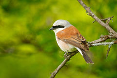 Red-backed shrike, Lanius collurio, bird from Bulgaria. Animal in the nature habitat, Europe. Shrike sitting on the branch. Clear Royalty Free Stock Photography