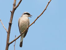 Red backed Shrike, Lanius collurio Stock Image