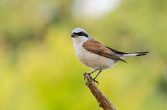 Red-backed Shrike - Lanius collurio Stock Images