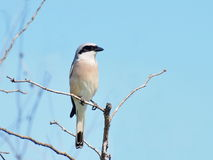 Red backed Shrike, Lanius collurio. Red backed Shrike on branch, Lanius collurio Stock Images