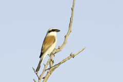 Red-backed Shrike (Lanius collurio) on branch Royalty Free Stock Images